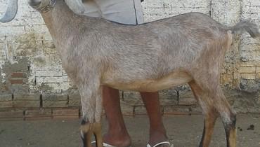 Caprino Leite Angulo Nubiana Cabra 2-3l - Pastar Imagens