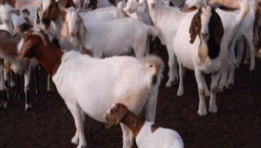 Caprino Corte Boer Cabra 51-65kg - Pastar Imagens