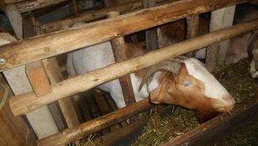 Caprino Corte Boer Cabra 35-50kg - Pastar Imagens