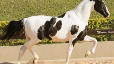 Equídeo Equino Mangalarga Registrado Cavalo Pampa Marcha Batida - Pastar Imagens