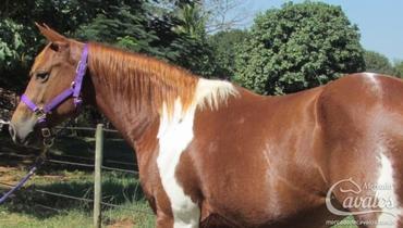 Equídeo Equino Paint Horse Registrado Égua Alazã Corrida - Pastar Imagens
