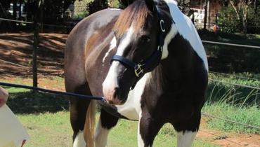 Equídeo Equino Paint Horse Registrado Égua Pampa Corrida - Pastar Imagens