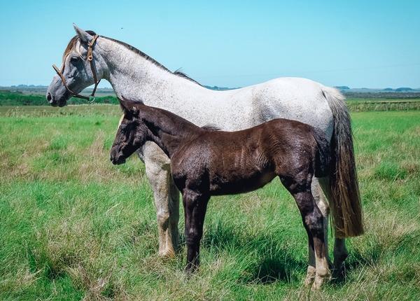 Remate Virtual de Fundamento coloca à venda cavalos Crioulos-1