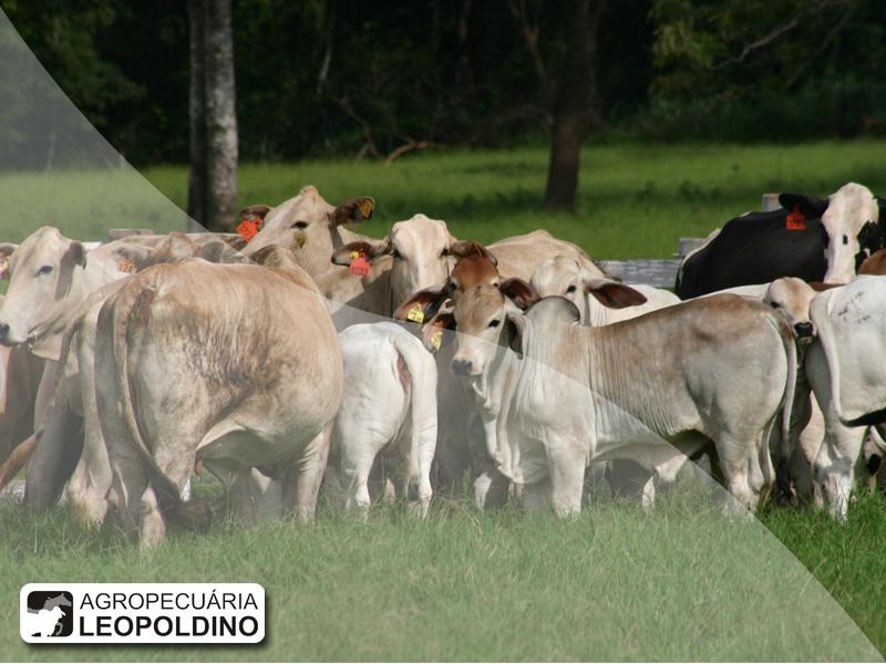 Agropecuária Leopoldino oferta animais Nelore e Brahman-1
