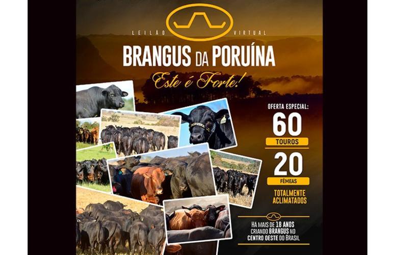 Brangus da Poruína oferta animais aclimatados em leilão