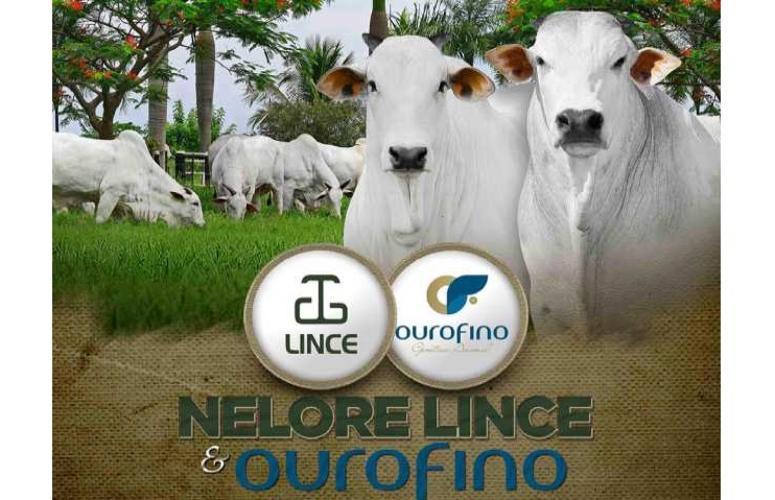 Lince & Ouro Fino Trazem oferta especial de Nelore PO