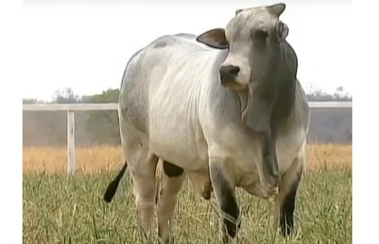 Leilão de Touros Santa Cruz oferta 200 reprodutores comprovados a campo