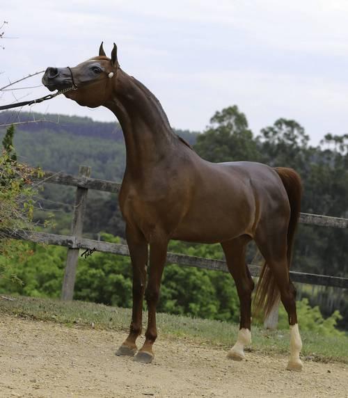 Leilão Virtual Arabstar oferta Cavalos Árabes no próximo dia 10-1