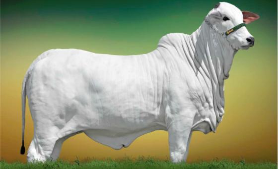 Xuab Agropecuária oferta 60 lotes de Nelore PO-1