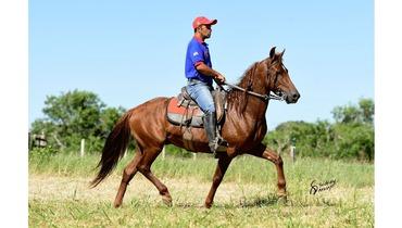 Equídeo Equino Mangalarga Marchador Comunicado Cavalo Alazã Marcha Batida - Pastar Imagens