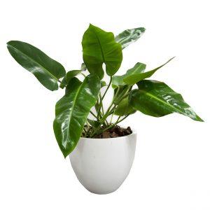 planta grande producto