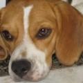 Tobby Beagle - Usuário do Proprietário Direto
