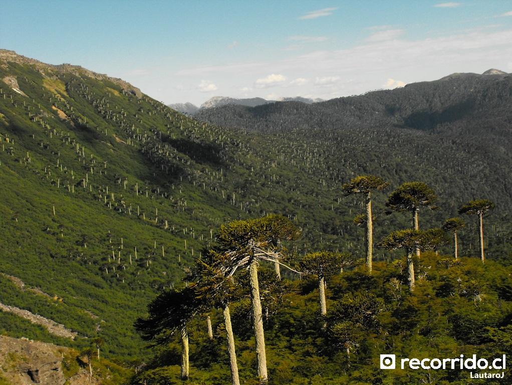 Bosque de araucarias en Parque Conguillio