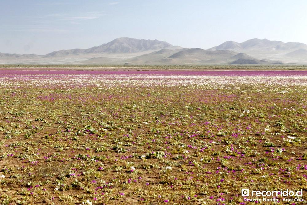 desierto florido - recorridocl