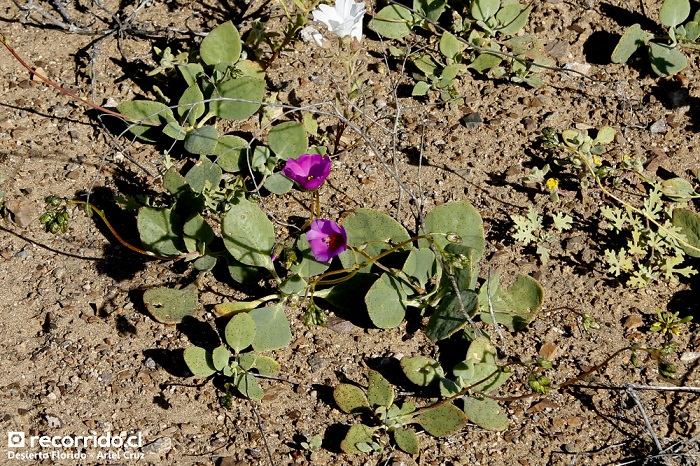 Patas de Guanaco (Cisanthe grandiflora)