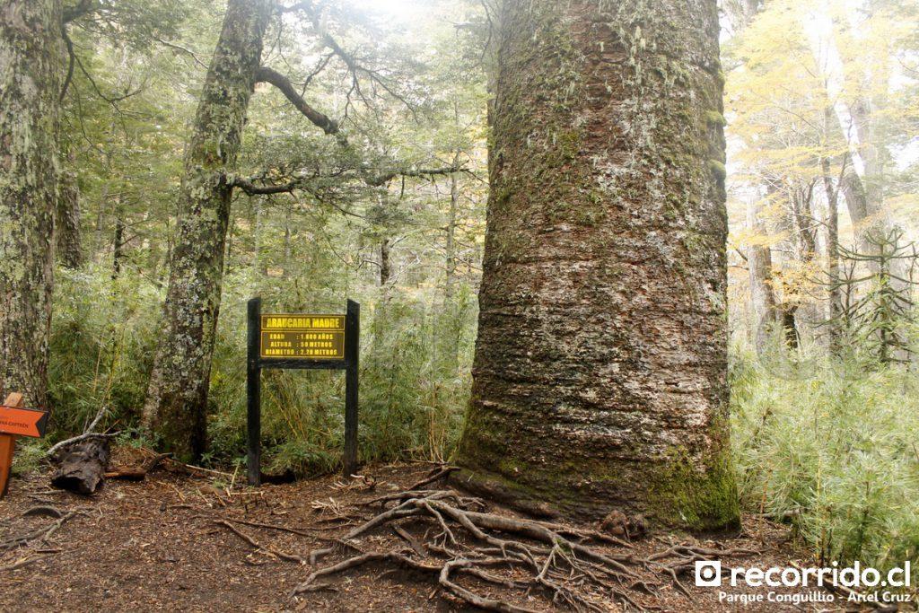 Araucaria Madre en Parque Nacional Conguillío