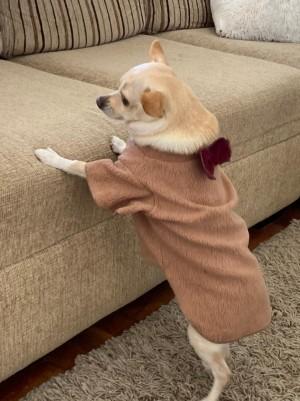 Capa Com Gravatinha Para Pet - Roupas para Cães