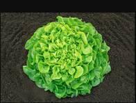 Lechuga Green Oakleaf