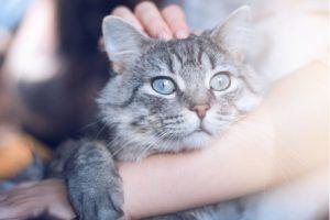 Gripe de gato: o que é e como identificar por Dra. Elaine Pessuto