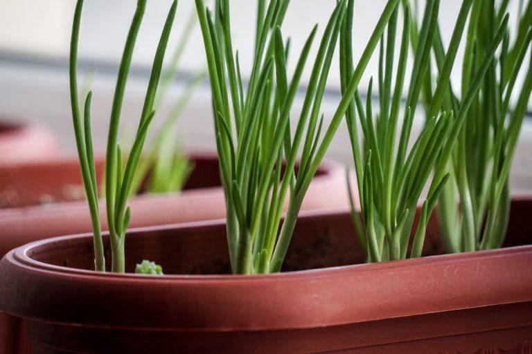 Como plantar o talo de cebolinha para colhê-la várias vezes por Letícia Momesso