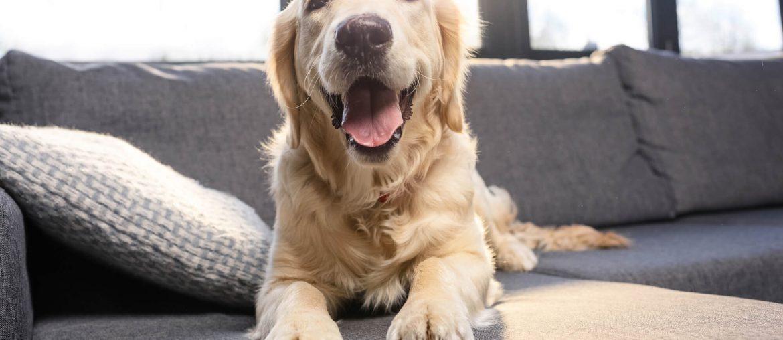 cachorro deitado em cima do sofá para limpar a casa
