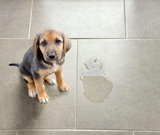 Descubra como tirar cheiro de xixi de cachorro da casa e como eliminar maus odores causados pelos pets!
