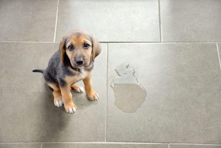 como tirar cheiro de xixi de cachorro, urina de cachorro