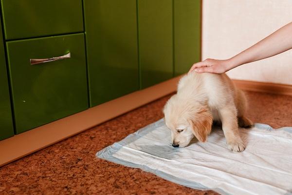 como tirar cheiro de xixi de cachorro, fralda para cachorro