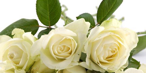 97b79a7ebf4 O que significa sonhar com rosa branca? - Astrocentro Blog
