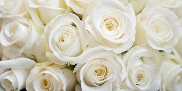 Significado Da Rosa Branca Tranquilidade Pureza E Charme