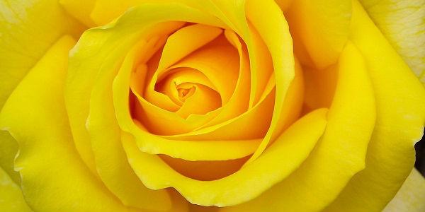 Significado da rosa amarela