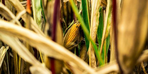 Simpatia do milho