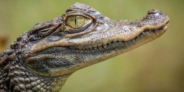 Sonhar com crocodilo