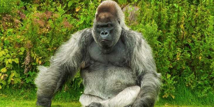 gorila-horóscopo-maia-2020