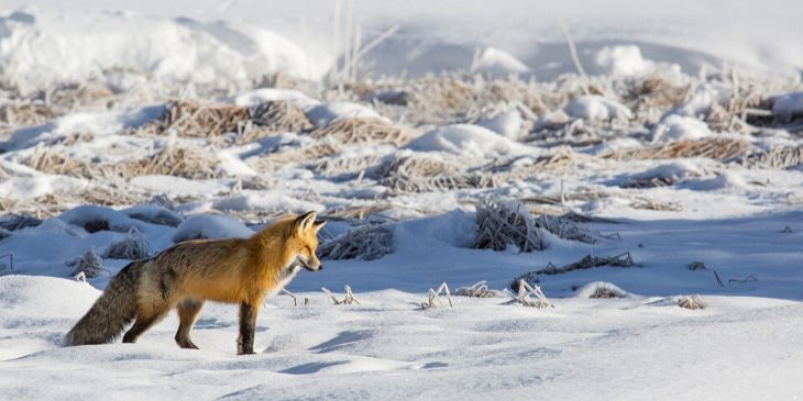 raposa-horóscopo-maia-2020