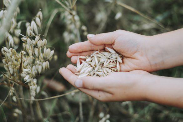 Pessoa com grãos de aveia nas mãos em uma plantação