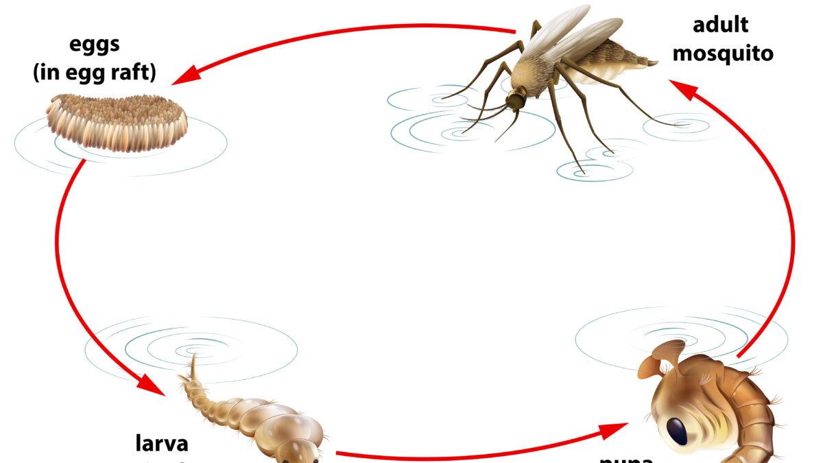 O que você precisa saber sobre o mosquito da dengue!