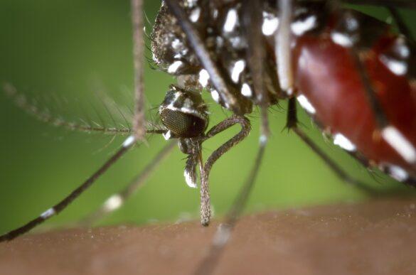 Combate a dengue: Imagem ampliada do mosquito Aedes Albopictus picando uma pessoa